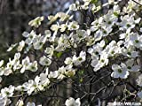 1 White Flowering Dogwood 2-3' potted tree