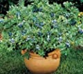 Top Hat Dwarf Blueberry ( Vaccinium ) - Live Plant - Quart Pot