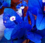 Solution Seeds Farm Rare Heirloom Blue Bougainvillea Spectabilis Willd Bonsai Seeds, 200 Seeds.