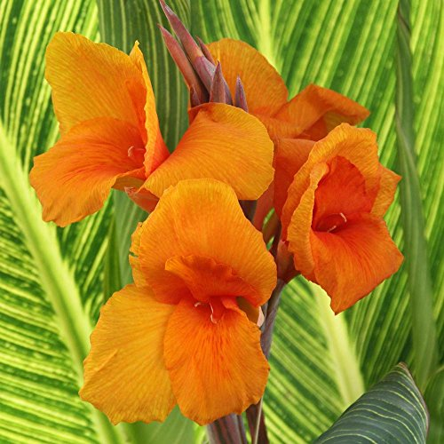 (Chalily Shallow Water Bare Root Marginal Plant for Ponds Bogs and Water Gardens | Variegated Water Canna)