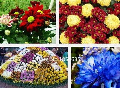 Negro: Planta de jardín 100 Semillas/Bolsa Venta de flores importadas Serie de hadas Paquete de color Persia Crisantemo Semillas de flores Semillas de flores Bo: Amazon.es: Jardín