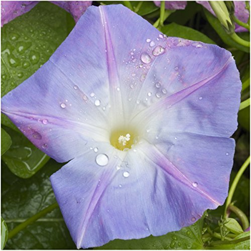Package of 130 Seeds, Caprice Morning Glory (Ipomoea purpurea) Open Pollinated Seeds By Seed (Morning Glory Seed Packets)