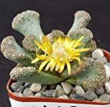 1 Titanopsis Calcarea Cactus Cacti Succulent Real Live Plant Fresh Beautiful