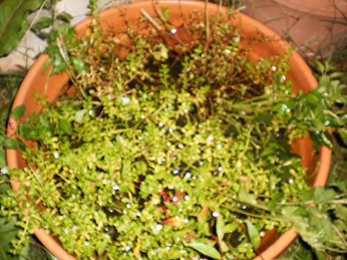 Bitter Herb, Edible (Vietnamese called Rau Dang) Out of the container mixed of other plants by moneywort