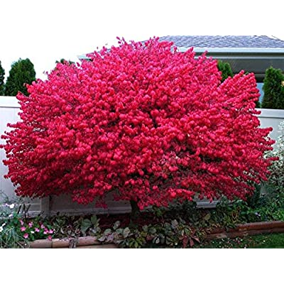 "Lumos80 Dwarf Burning Bush Plant 4"" Pot Hardy Shrub (Euonymus Alatus) : Garden & Outdoor"