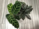 * Calathea Ornata * Lovers Plant * Amazing Leaves * Pink Strips * RARE 5 Seeds *