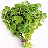 Cilantro Seeds, 100+ Premium Heirloom Seeds, Fantastic Addition to Your Home Garden! (Isla's Garden Seeds), Non GMO Organic, 100% Pure, 85-90% Germination Rates, Highest Quality!