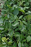 (2 Gallon) Manhattan Euonymus- This Fancy Shrub Dense, Lush, Dark Green Foliage & a Naturally Neat, Formal Appearance, Without Pruning. Produce Small but Attractive, Pink Ornamental Fruit in The Fall