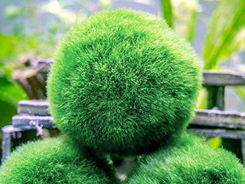 5-nano-marimo-moss-balls-by-aquatic-arts