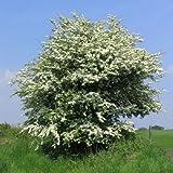 50 Singleseed Hawthorn Tree Seeds, Crataegus Monogyna