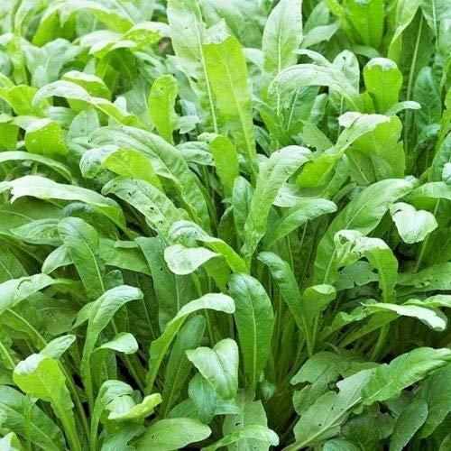 600+Chinese MIBUNA Cabbage Seeds Korean Kim Chi Non-GMO Organic Spring/Fall