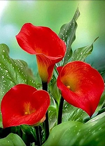 Hybrid Calla Lilies Mixed Value Pack - 5 Bulbs/pkg - Bright Colors Red, Orange, Yellow, Pink ()