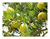 Argania spinosa - Argan oil - 3 seeds