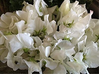 Sweet Pea 'White Ensign' (Lathyrus Odoratus L.) Flower Plant Seeds, Annual Heirloom