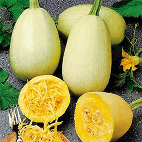 Squash Seeds, Spaghetti Squash Seeds 25 seed pack ,ORGANIC, USA PRODUCT. BY JACOBS LADDER ENT.