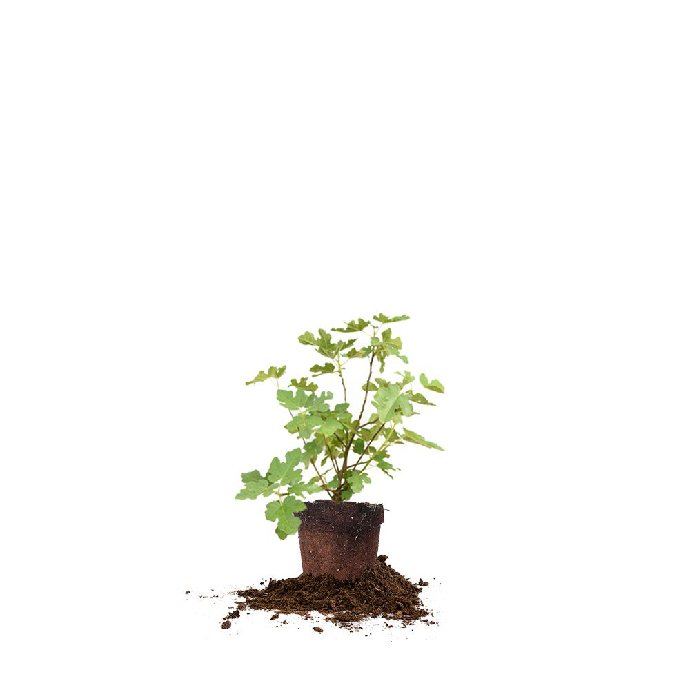 Perfect Plants Celeste Fig Tree Live Plant, 1 Gallon, Includes Care Guide
