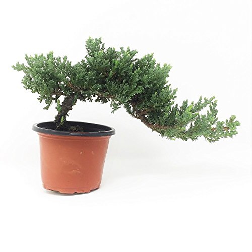 Healthy Small Windswept Juniper Pre-Bonsai (Juniperus Procumbens 'Nana') Directly From Bonsai Outlet