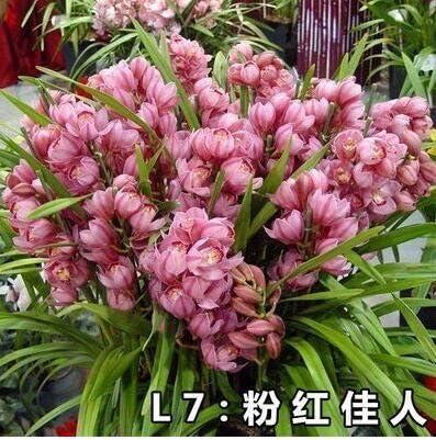 50pcs / lot rara orquídea Cymbidium, semillas Cymbidiums africanas, semillas de flores, bonsai planta para el jardín de 14: Amazon.es: Jardín