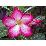 Wüstenrosen Mix 5 Samen -Adenium- ☆☆☆ Viele verschiedene Blütenfarben ☆☆☆