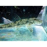 日淡 水槽内のおそうじ屋さん カマツカ 川魚【こだわりの生体をお届けします 名生園】