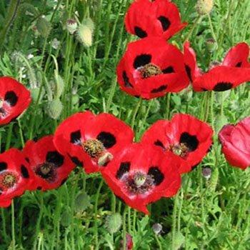 (Outsidepride Poppy Commutatum - 5000 Seeds)