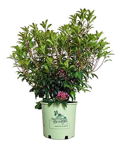 American Beauties Native Plants - Kalmia lat. 'Pink Charm' (Mountain Laurel) Evergreen, deep pink flowers, #3 - Size ()