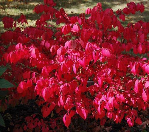30 Bonsai Seeds Dwarf-Winged Burning Bush Tree #3728 Euonymus alatus