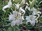 Casa Blanca Oriental Lily Bulbs - 5 Bulbs