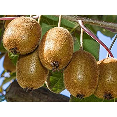1 Starter Plant of Kiwi Actinidia Fruit Tree Vincent Female Vine : Garden & Outdoor
