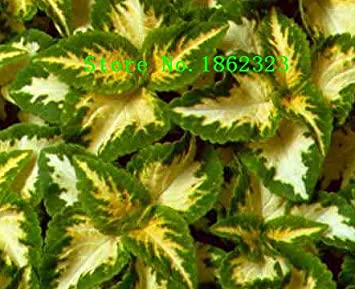 100 piezas 12 Semillas coleo diferentes semillas de vegetales chinos con encanto Bonsai plantas de jardín Precio al por mayor Shippin: Amazon.es: Jardín