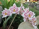 Beallara Tahoma glacier: Orchid