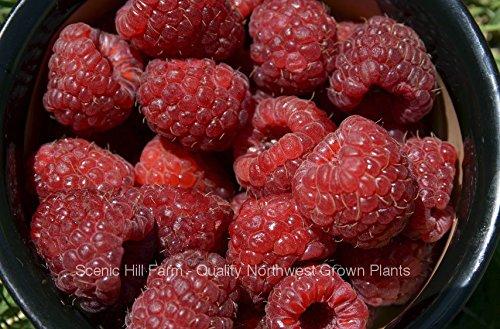 6 Potted Joan J Thornless Ever Bearing Red Raspberry Plants (Raspberries Plants)