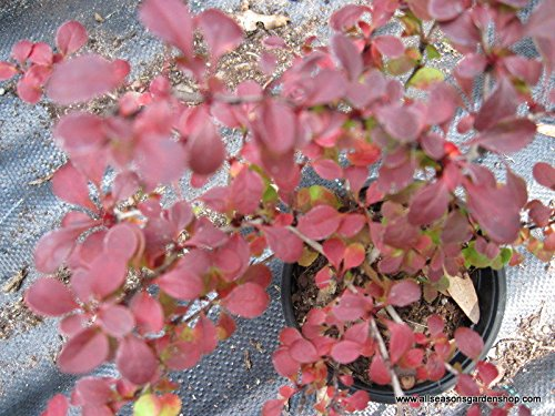 Rosy Glow Barberry, glossy red leaves, good fall color, TWENTY plants