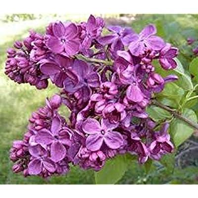 Syringa 'AGINCOURT Beauty '- Lilac - Fragrant- Plant - Approx 6-10 INCH- DORMANT : Garden & Outdoor