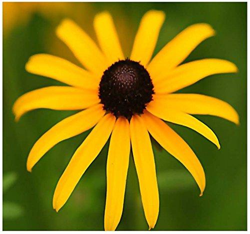 (MySeeds.Co BIG PACK (100,000+) BLACK EYED SUSAN Flower Seeds ~ Rudbeckia hirta - SELF RESEEDS ~ PERFECT GOLDEN CUT FLOWERS (BIG PACK - Black Eyed Susan))