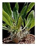 Pachypodium lamerei VAR. ramosum - Dwarf Madagascar Palm - 5 Seeds
