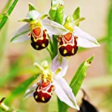 Dwqgroup 2016 Hot 100 Seeds New Flora Semillas Bee Orchid Flower Seed Smile Face Interesting Flowers (06)