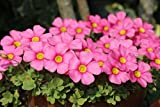 Rare Oxalis obtusa Raspberry The Netherlands Imports Oxalis Flowers Bulbs Color Rotary for Home Garden Flower (Bulb is Small)