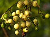 12 Seeds Chinaberry, Persian Lilac, Pride Of India, Bead Tree, Chinaberrytree (Melia azedarach)