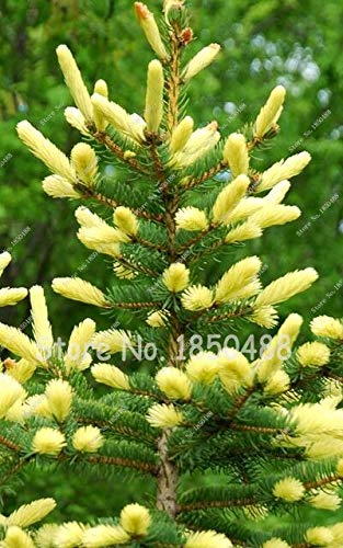 - 3 : 60Pcs Japan Spruce Picea Bonsai Trees,Climbing Plant Perennial Evergreen Tree Bonsai Seeds Home Garden Plant Flower Pot Planters