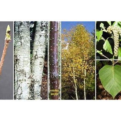 Fresh Cheap Trees Seeds White Birch Get 200 Seeds Easy Grow #FAY01YN : Garden & Outdoor