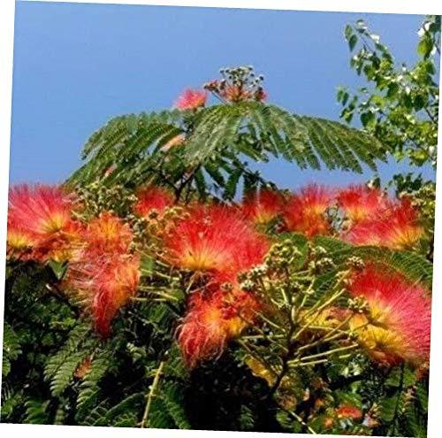 Seeds 5 Orange Mimosa Tree Seeds Silk Tree Albizia julibrissin Perennial Persian Seed ()