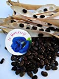 spoon river project - Blue pea flower Butterfly pea Flower 25 seeds