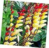 Seeds Firecracker Vine 15 Seeds (Mina Lobata) Garden Seeds 2u