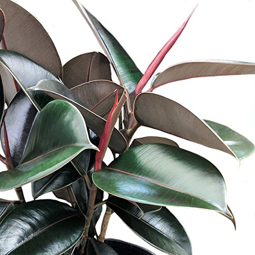 plant to help sleep rubber tree