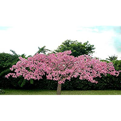 Chorisia speciosa @@ Exotic Flowering Tree Silk Floss Bottle Baobab Seed 5 seeds : Garden & Outdoor