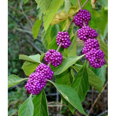 American Beautyberry - French Mulberry - Healthy Flower 1 Plant in 2 Gallon Pot from Grandiosy Farm : Garden & Outdoor