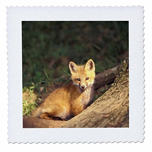 3dRose qs_83614_1 Red Fox Pup in Front of Den NA02 AJE0311 Adam Jones Quilt Square, 10 by 10-Inch