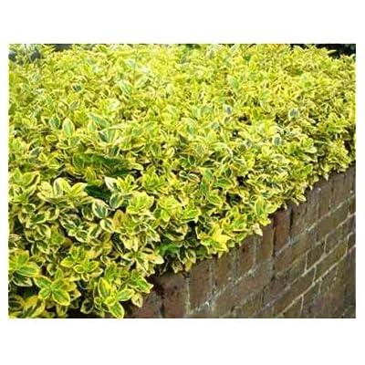 Cuttings (unrooted) Gold Euonymus Shrubs Evergreen Shrub Get 10#NR01YN : Garden & Outdoor
