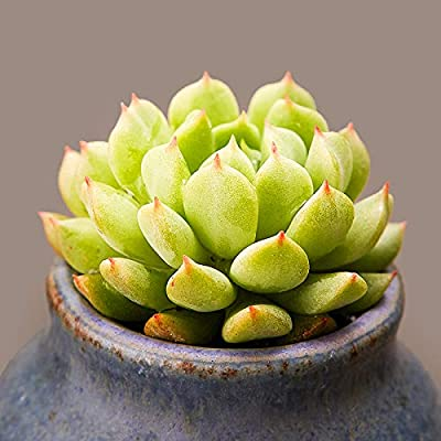 Succulent Live Plant - Echeveria 'Irish Mint' : Garden & Outdoor